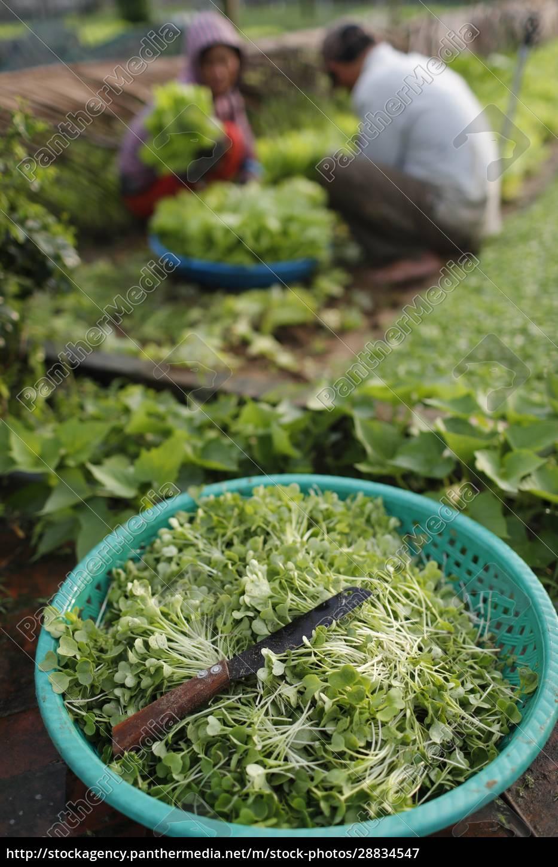 ekologiczne, ogrody, warzywne, w, tra, que - 28834547