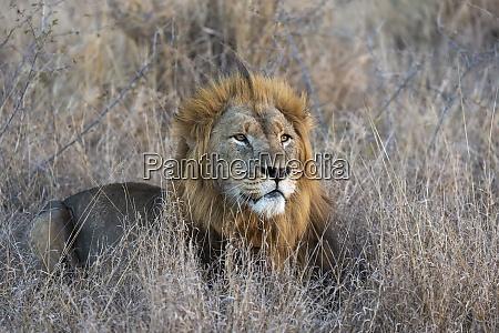 lew panthera leo zimanga prywatny rezerwat