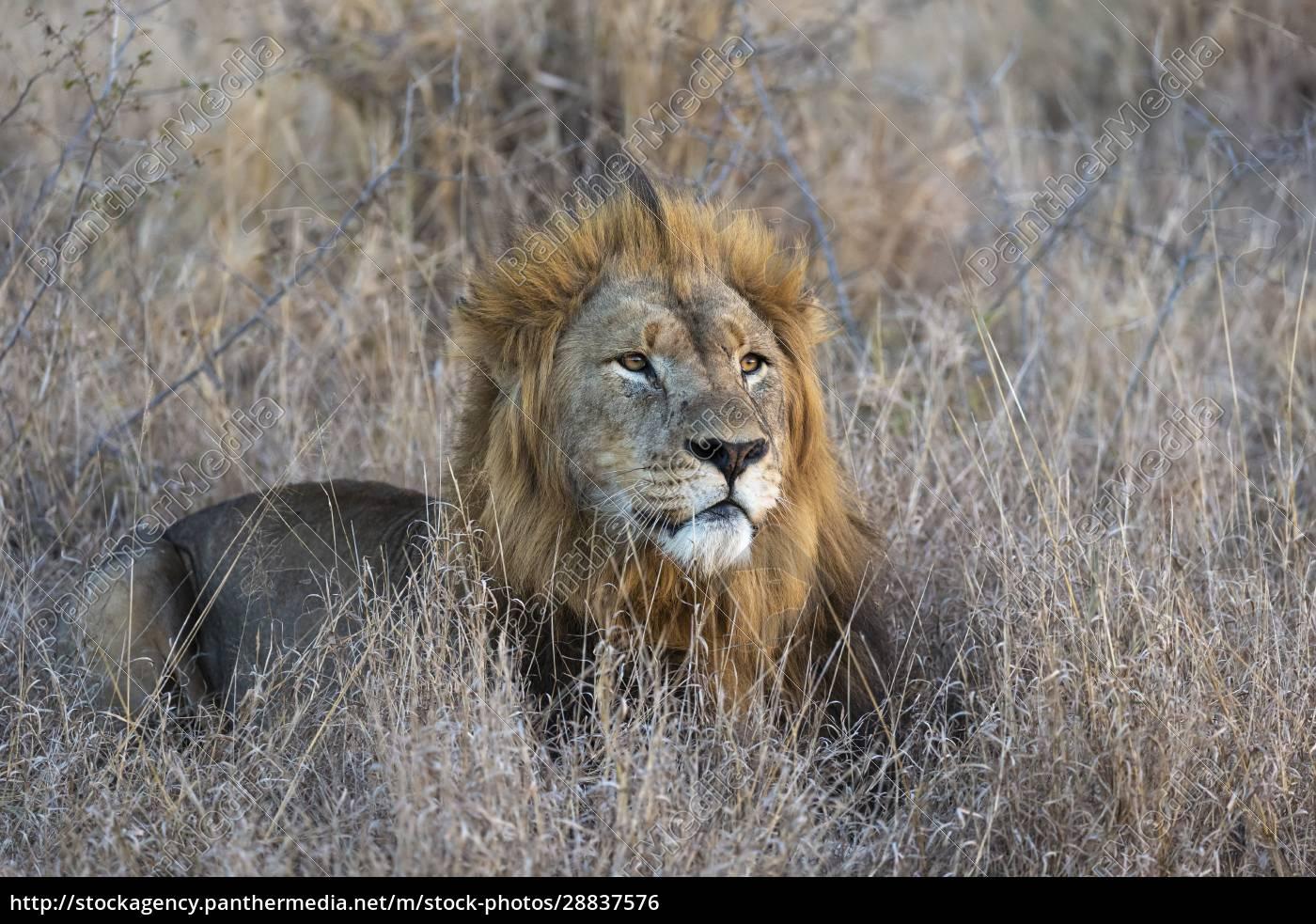 lew, (panthera, leo), zimanga, prywatny, rezerwat, zimanga, kwazulu-natal, republika - 28837576