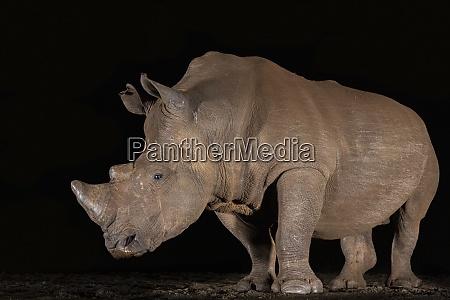 nosorożec, biały, (ceratotherium, simum), w, nocy, prywatny - 28837570
