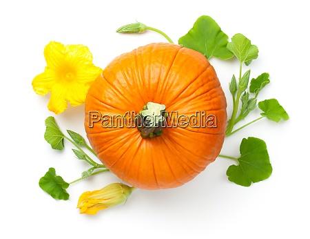 dyniowe warzywa z zoltym kwiatem