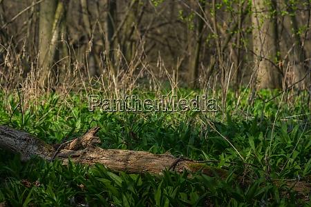 czosnek niedzwiedzia na wiosne i las