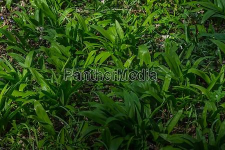 soczysty zielony dziki czosnek na dnie
