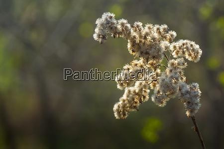 miekki bialy kwiat na sloncu