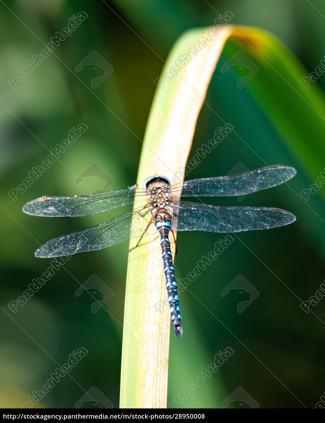 dragonfly, , aeshna, cyanea, , insect, in, natural - 28950008