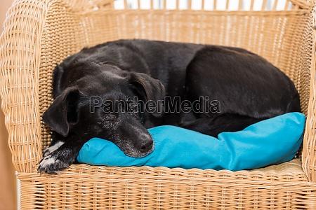 czarny pies spi na rattanu fotel