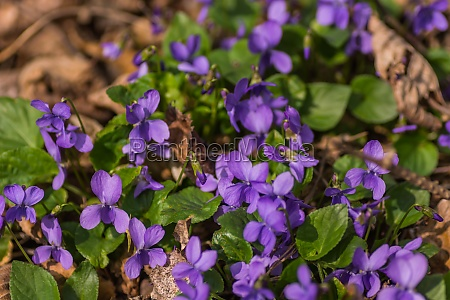 many, fragrant, violets, in, the, sun - 29765528