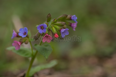 fresh, colorful, lungwort, named, lords, and - 29767886