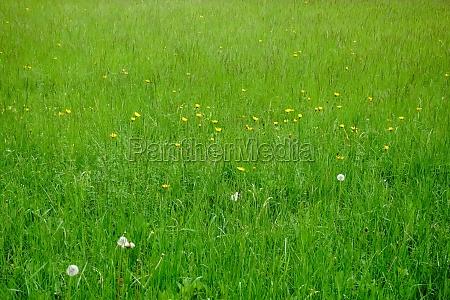 świeża, zielona, łąka, z, żółtymi, kwiatami - 30255693