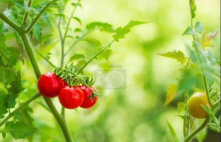 zielony, czerwony, Zbliżenie, sezonowe, Lato, Świeże - B13063391